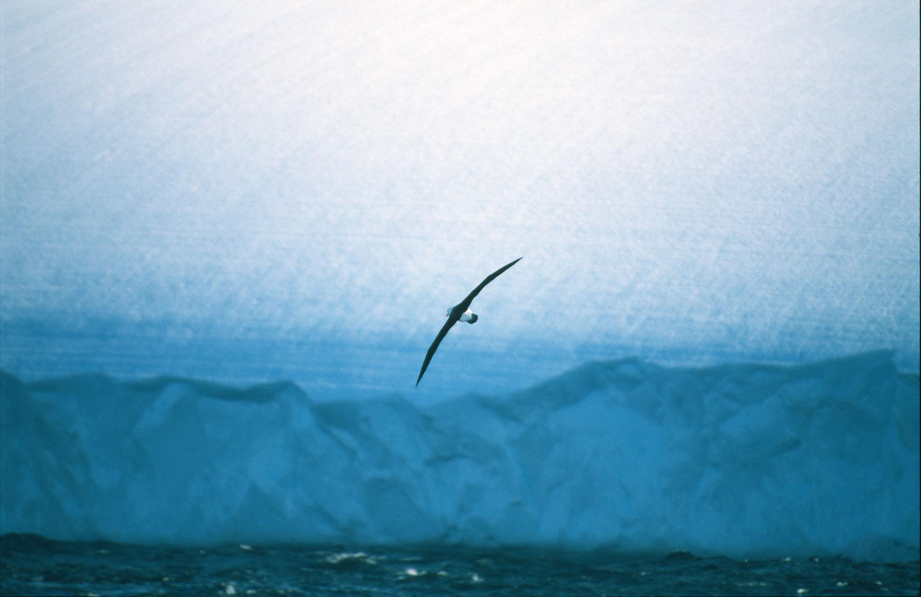 albatroseis.jpg