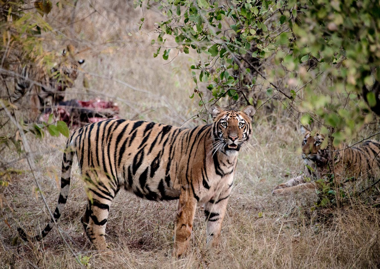 Tiger NP India - Tigers with their kill