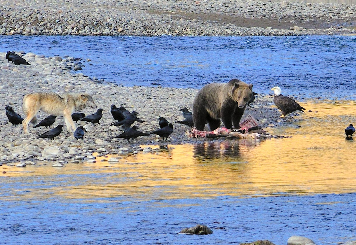 Grizzly, Wolf und Adler / Yellowstone NP
